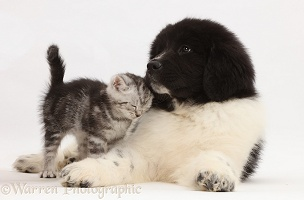 Silver tabby kitten rubbing against Newfoundland puppy
