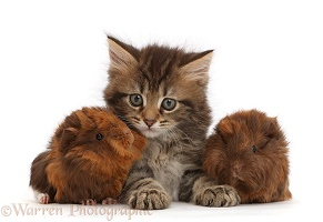 Tabby kitten with baby Guinea pigs