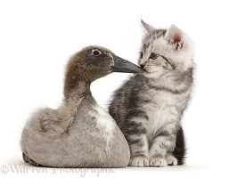 Silver tabby kitten kissing Indian Runner duckling on the beak