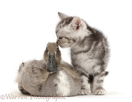 Silver tabby kitten kissing Indian Runner duckling on the head