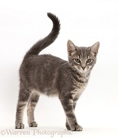 Grey tabby kitten walking with tail up