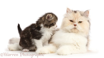 Kitten, looking at his Persian mother