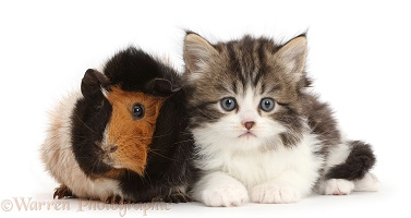 Tabby-and-white kitten with Guinea pig