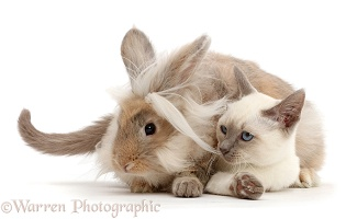 Blue-point Birman-cross kitten with fluffy bunny