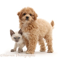 Cavachondoodle pup and Birman-cross kitten
