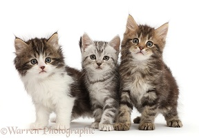 Three different tabby kittens