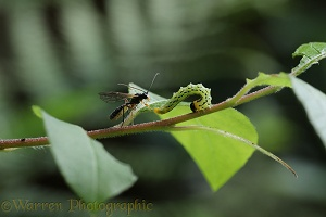 Parasitic braconid wasps approaching caterpillar of lesser willow sawfly