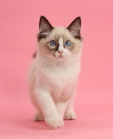 Ragdoll kitten, 10 weeks old, walking on pink background
