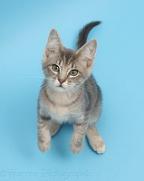 Blue tabby kitten on blue background