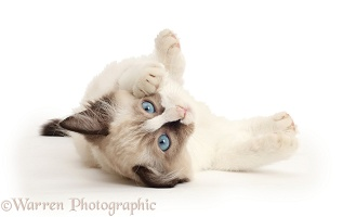 Ragdoll kitten, 10 weeks old, rolling on her back