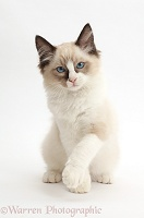 Ragdoll kitten, 10 weeks old, raising a paw