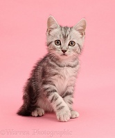 Silver tabby kitten, 10 weeks old, sitting on pink background