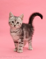 Silver tabby kitten, 10 weeks old, standing on pink background