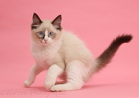 Ragdoll kitten, 10 weeks old, on pink background
