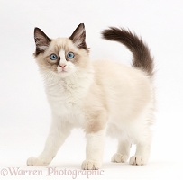 Ragdoll kitten, 10 weeks old