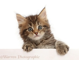 Brown tabby kitten, 6 weeks old, paws up, leaning over