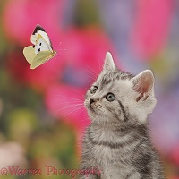 Silver tabby kitten watching a butterfly