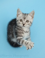 Silver tabby kitten on blue background