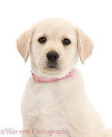 Yellow Labrador Retriever puppy, with pink collar on