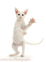 White Oriental kitten standing up and swiping
