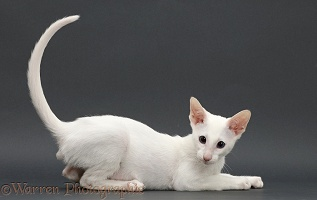 White Oriental kitten, on grey background
