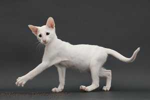 White Oriental kitten, walking on grey background