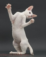 White Oriental kitten, with raised paws, on grey background