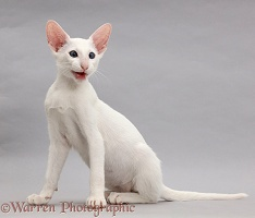 White Oriental kitten sitting and meowing on grey background