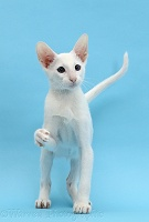 White Oriental kitten, with raised paw on blue background