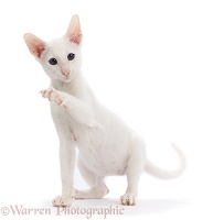White Oriental kitten, with raised paw