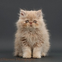 Persian kitten, sitting on grey background