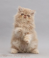 Persian kitten, sitting up with raised paws on grey background