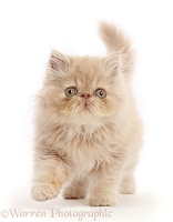Persian kitten, walking