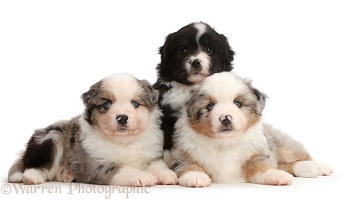 Three Mini American Shepherd puppies