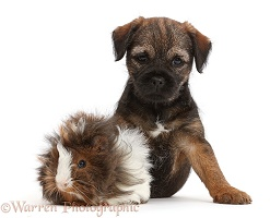 Border Terrier puppy, 8 weeks old, and Guinea pig