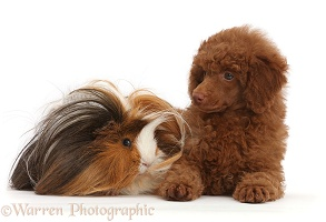 Red Poodle puppy and Guinea pig
