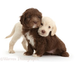 Golden and Chocolate Labradoodle puppies, 6 weeks old