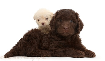 Chocolate and Golden Labradoodle puppies