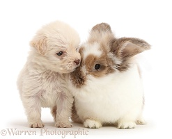Golden Labradoodle runt puppy and Rabbit