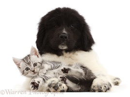 Silver tabby kitten with Newfoundland puppy