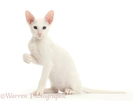 White Oriental kitten sitting