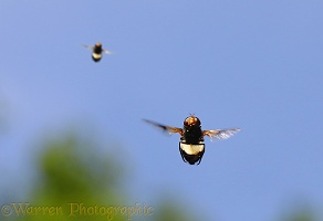 Pellucid Hoverfly males hovering