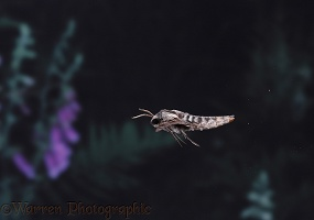 Pine Hawkmoth in flight