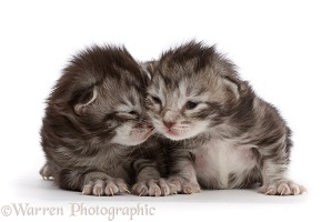 Silver tabby kittens, 8 days old