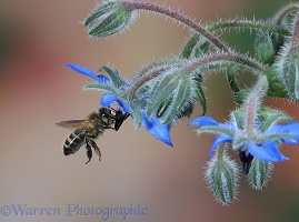 Honey Bee worker visiting Borage flowers