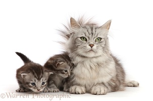 Silver Tabby mother cat and two kittens