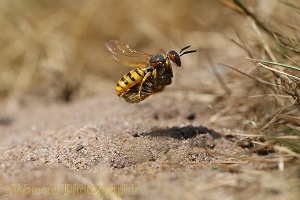 Bee-killer Wasp approaching burrow with honey bee prey 1