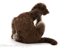 Labradoodle scratching