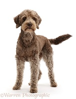 Labradoodle standing