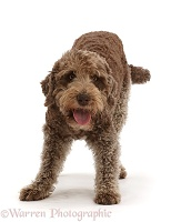 Playful brown Labradoodle